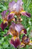 iris kwiatów Fotografia Royalty Free