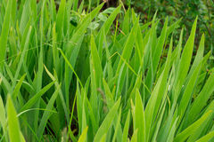 Iris lässt das Wachsen im Garten stockbild