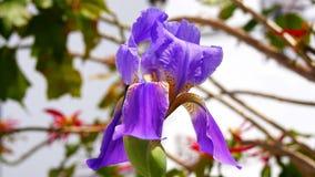 Iris Laevigata, Japanse iris, konijn-oor iris of kakitsubata (4K) stock video