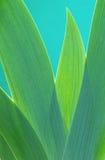 Iris leaf Royalty Free Stock Photo
