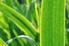 Iris leaf background Stock Photography