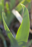 Iris Leaf Stock Photography