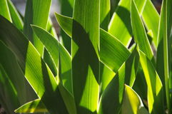 Iris leaves Stock Images