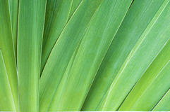 Iris Leaves Closeup as a Background Royalty Free Stock Photo