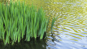 Iris Leaves in a Rippling Pond with Copy Space Stock Photo