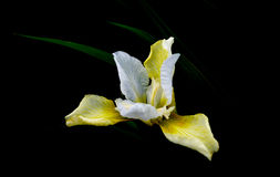 Iris light. Pale yellow and white iris against black background with a few green leaves showing, light against dark Royalty Free Stock Images