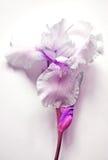 Iris lilas Photo stock