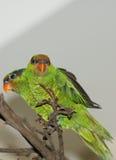 Iris Lorikeet - ίριδα Psitteuteles Στοκ φωτογραφίες με δικαίωμα ελεύθερης χρήσης
