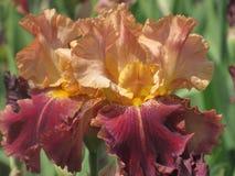 Iris macro Imágenes de archivo libres de regalías