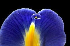 Iris Macro Dew Drops Fotos de archivo libres de regalías