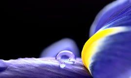 Iris Macro Dew Drops Imagen de archivo