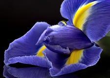 Iris Macro Dew Drops Imagenes de archivo