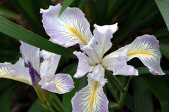 Iris Magnifico Flower Arkivbild