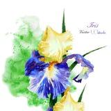 Iris med den gröna vattenfärgen background-02 Royaltyfri Fotografi