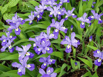 iris miniatura Zdjęcie Stock