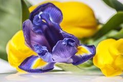 Iris mit Tulpen stockbilder