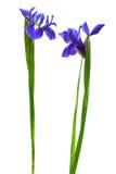 Iris mit zwei Blau Lizenzfreie Stockfotografie