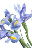 Iris Mooie bloem op lichte achtergrond Royalty-vrije Stock Fotografie