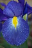 Iris néerlandais avec des gouttes de pluie Photo libre de droits