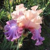 Iris na regen Royalty-vrije Stock Foto's