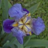 Iris nach Regen Lizenzfreie Stockfotos