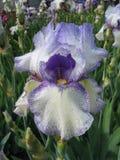 Iris Nahaufnahme, weiße Variante mit purpurroter Zeichnung, Wassertropfen auf Blüte Lizenzfreies Stockbild