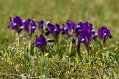 Iris nain violet Photos stock