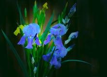 Iris, Natur, Blüte, blühende Iris, feiert Blüte, Stockfotos