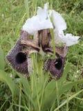 Iris Nazareth Stock Afbeelding