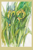 Iris, no.1. Hand painted flowers picture - watercolors technique, iris Royalty Free Stock Photo