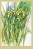 Iris, no.1 royalty free stock photo