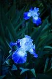 Iris No blu 3 Fotografia Stock Libera da Diritti