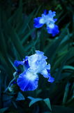 Iris No blu 3 Immagini Stock