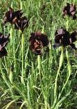 Iris noir Photo libre de droits