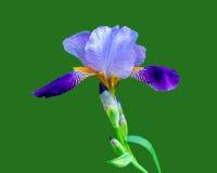 Iris op Groen Stock Foto's