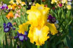 Iris op tuinachtergrond royalty-vrije stock afbeelding