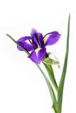 Iris op witte achtergrond Royalty-vrije Stock Foto's