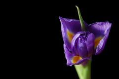 Iris op zwarte Stock Afbeeldingen