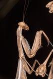 Iris oratoria mantis Stock Photo
