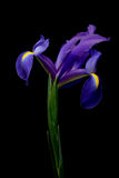 Iris over black. Dutch iris macro, limited depth of field with focus on left and right petals Stock Image