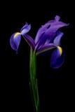 Iris over zwarte Stock Afbeelding