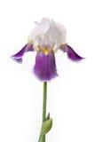 Iris på en vit bakgrund arkivfoton