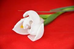 Iris på röd bakgrund Royaltyfri Bild