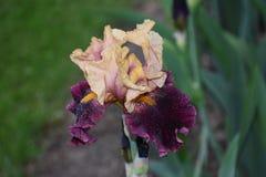Iris púrpura Foto de archivo