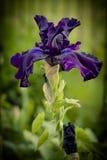 Iris púrpura Imágenes de archivo libres de regalías