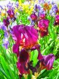 Iris púrpura Fotografía de archivo