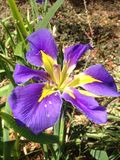 Iris púrpura Imagen de archivo
