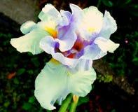 Iris púrpura Foto de archivo libre de regalías