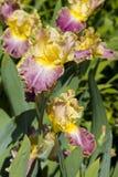 iris Púrpura-amarillos Fotos de archivo libres de regalías