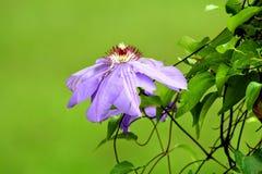 Iris púrpura en caída imagen de archivo